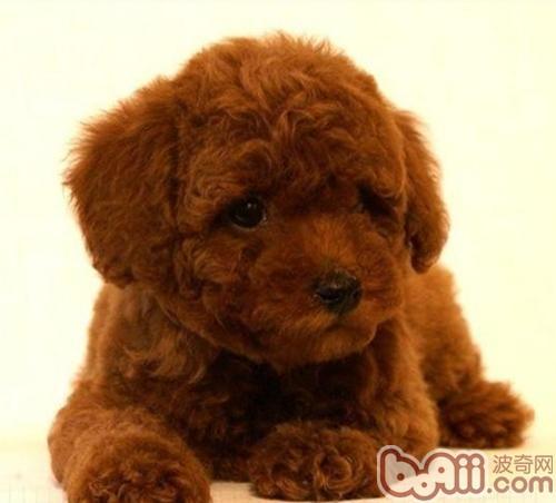 怎样帮助泰迪犬去除皮屑-成犬饲养
